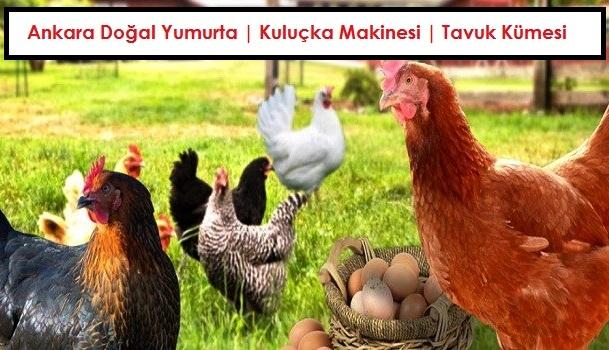 Ankara Dogal Yumurta Kulucka Makinesi Tavuk Kumesi