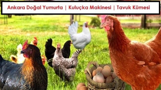 Ankara Doğal Yumurta | Kuluçka Makinesi | Tavuk Kümesi